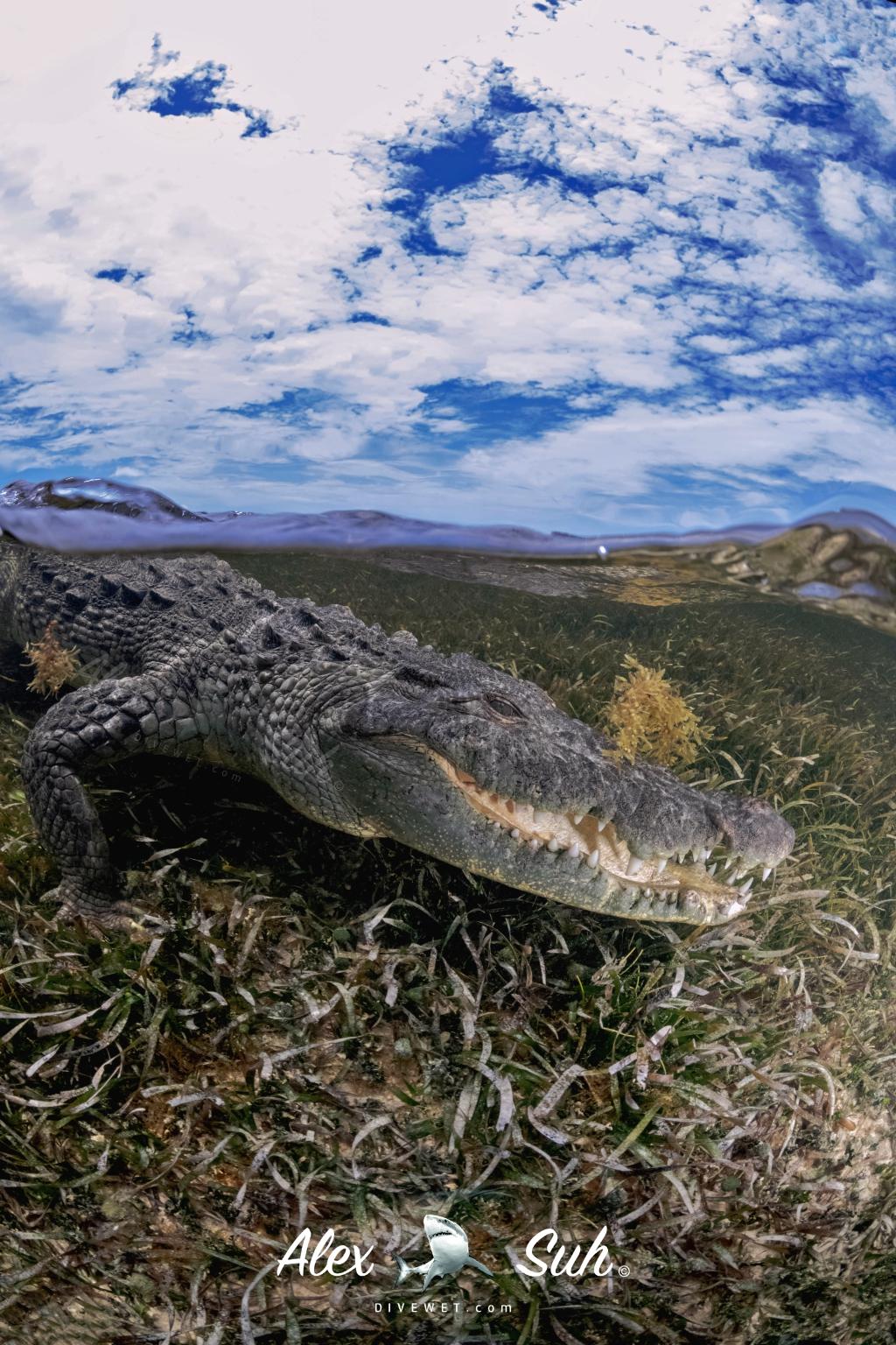 MARKED Croc OU 72dpi.jpg