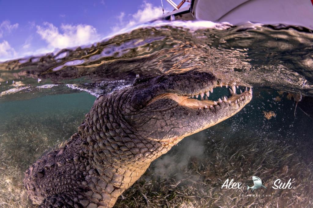 MARKED Croc Side Mouth Open OU 72dpi.jpg