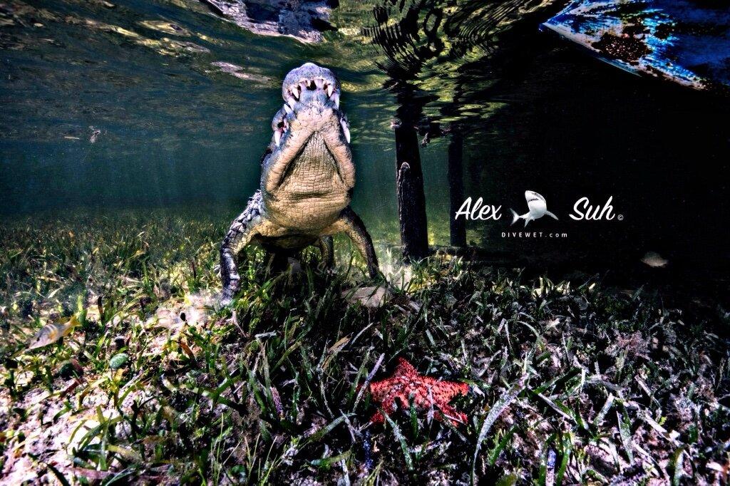Saltwater American Crocodile  (Crocodylus acutus)