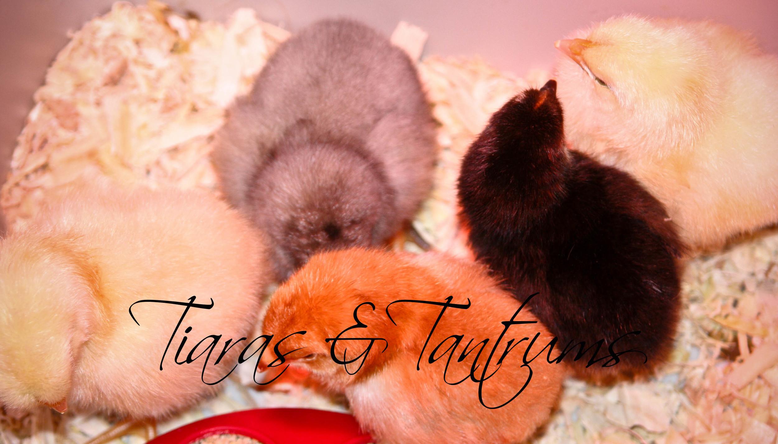 chicks (2 of 1).jpg