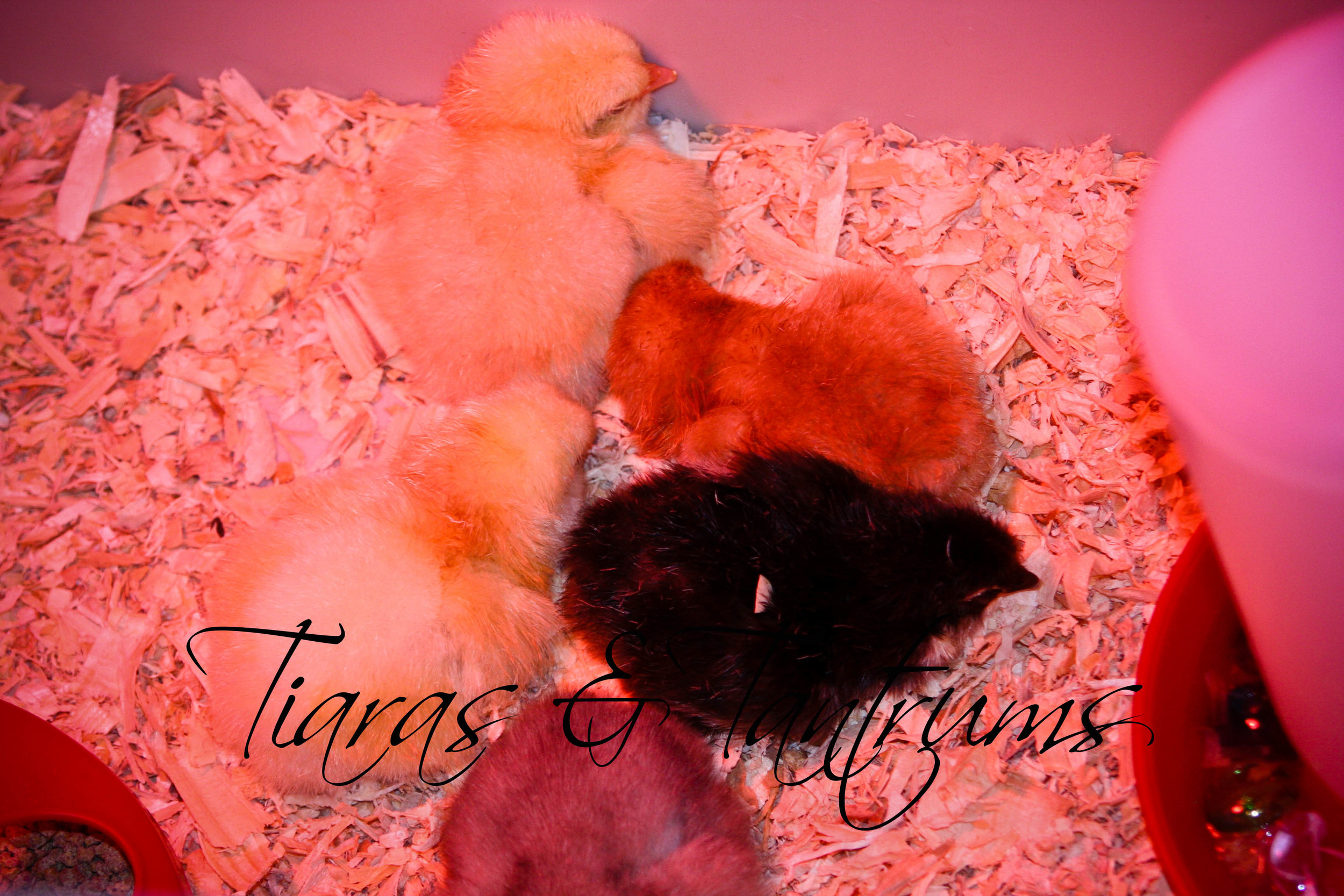 chicks (1 of 1).jpg