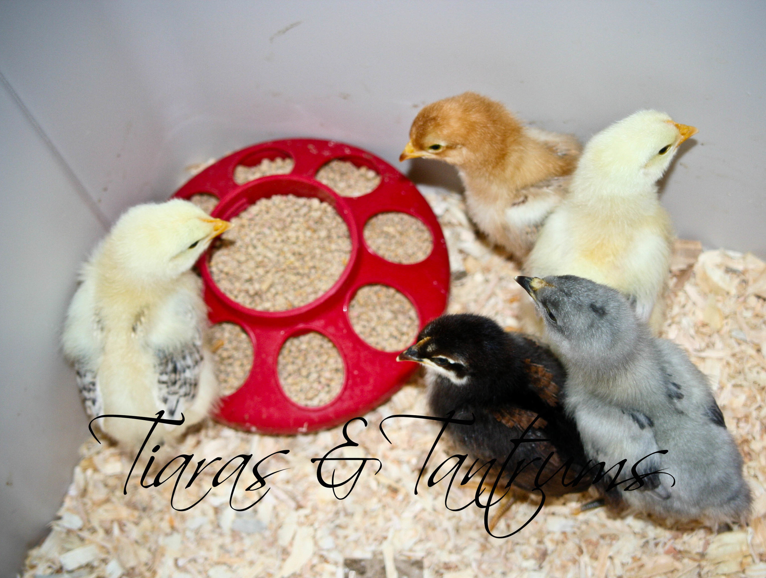chicks (5 of 1).jpg