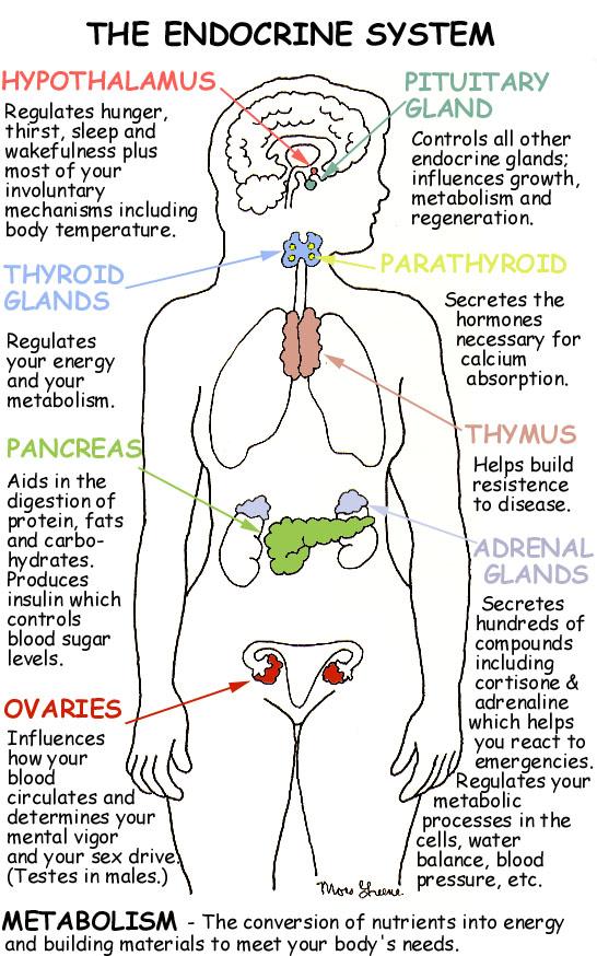 endocrinesystem.jpg