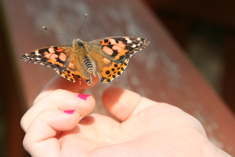 The Butterfly Nursery | The Butterfly Lifecycle