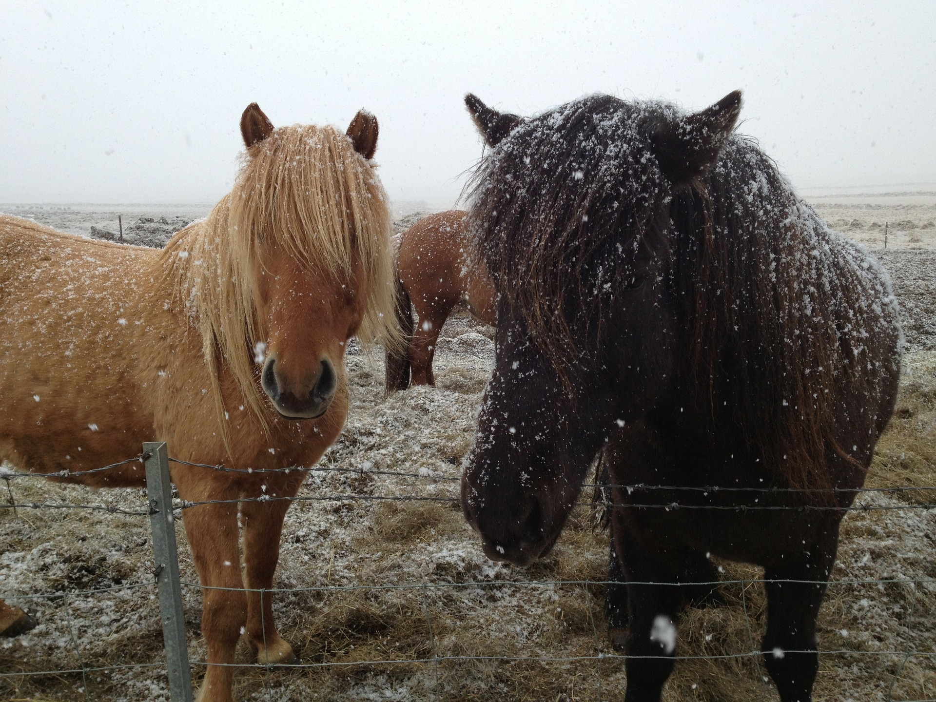 icelandic-horses-180535_1920.jpg