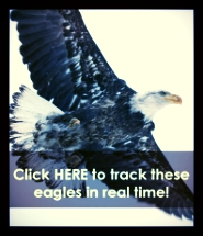 Bald Eagle Button.jpg