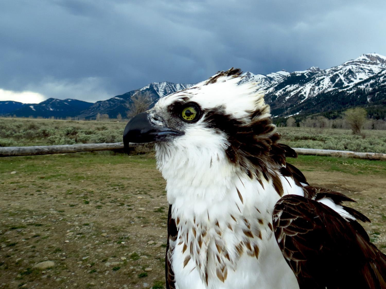 Osprey 6.jpg