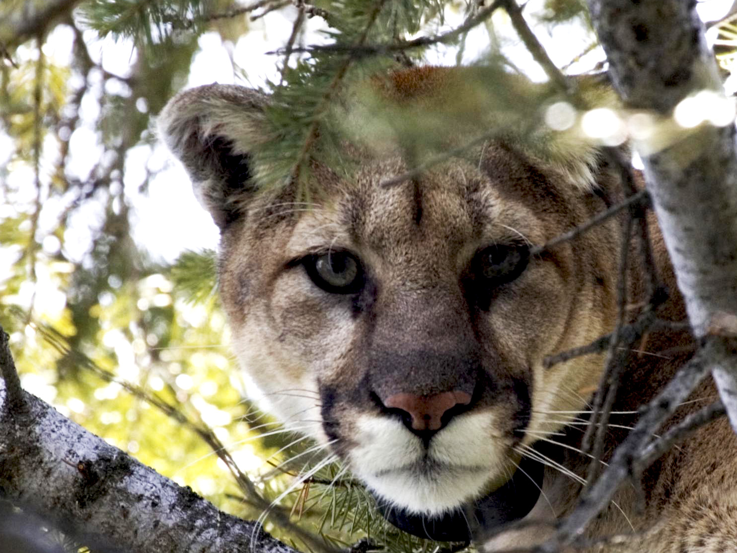 Cougar 1.jpg