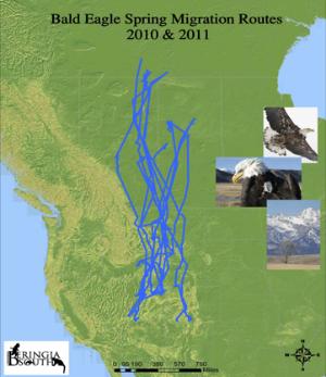 bald eagle spring migration 2010 2011
