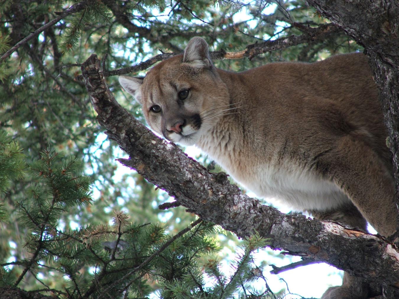 cougar-mccarthy.jpg