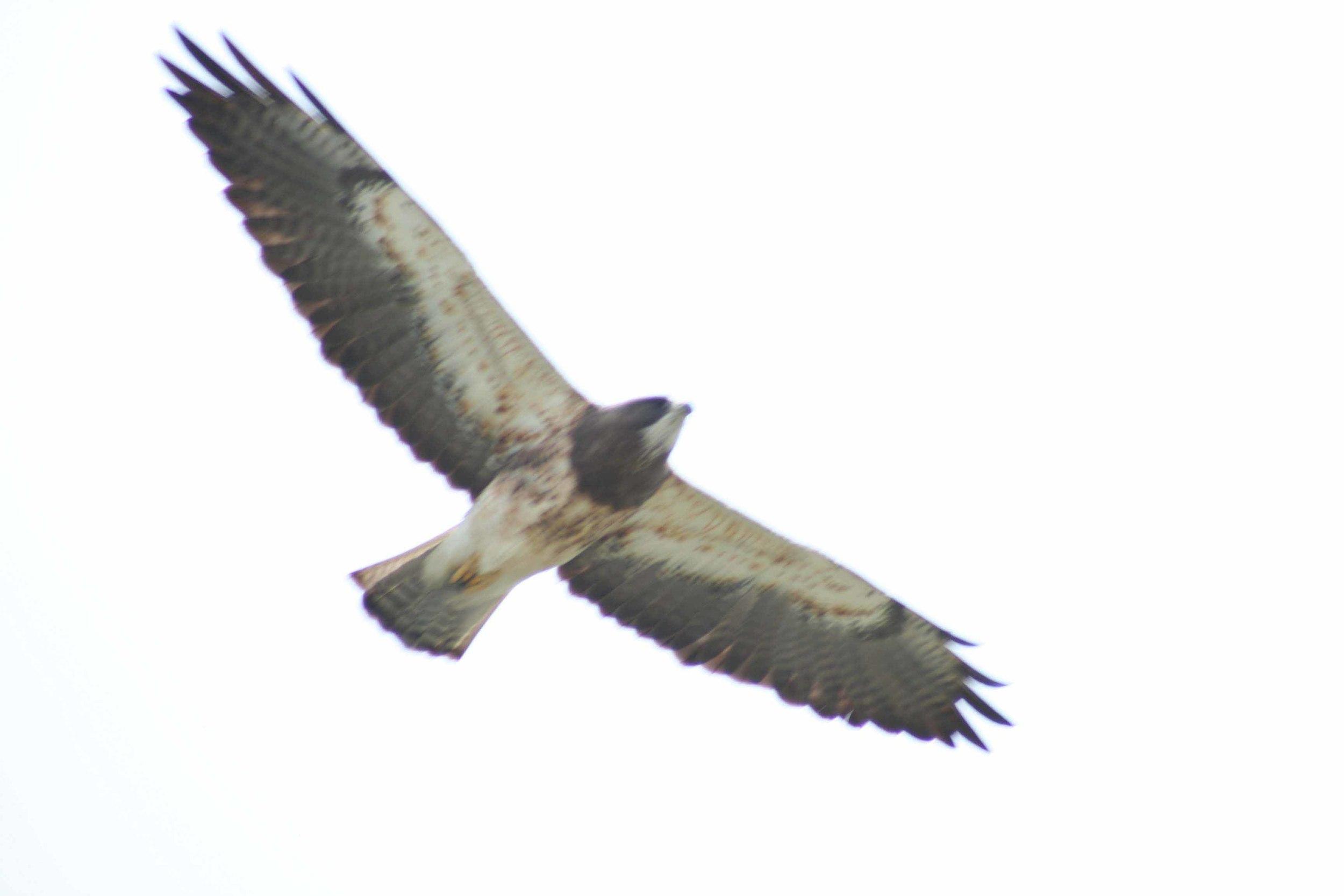 Swainson's Hawk Flight.jpg