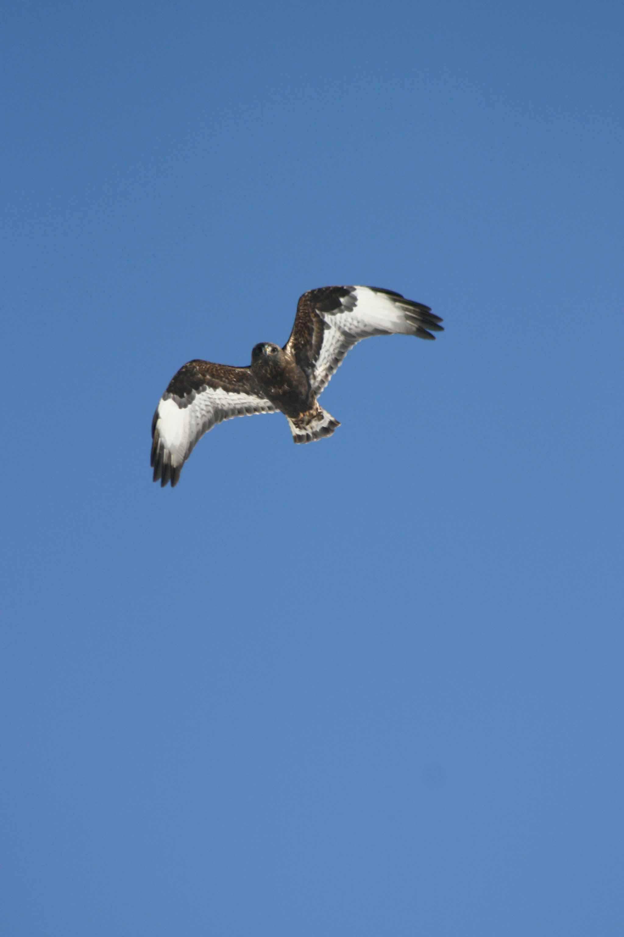 rough-legged hawk.jpg