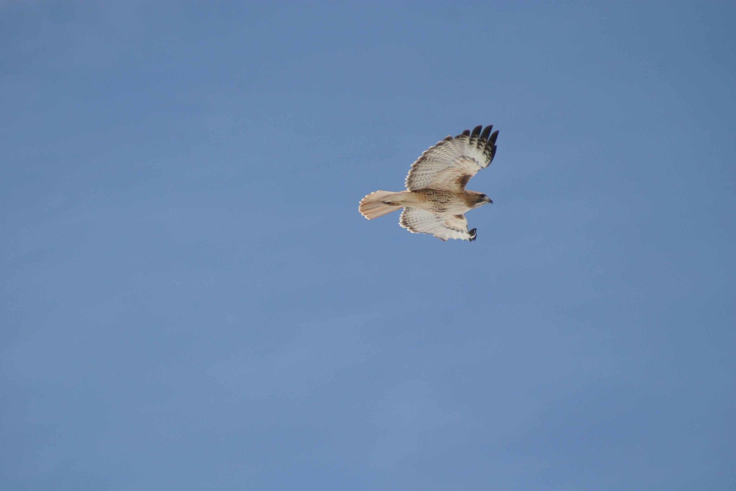 Red Tailed Hawk Flight.jpg