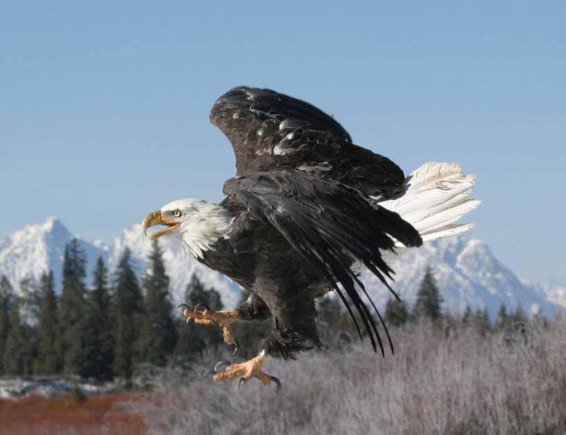 eagle crop.jpg