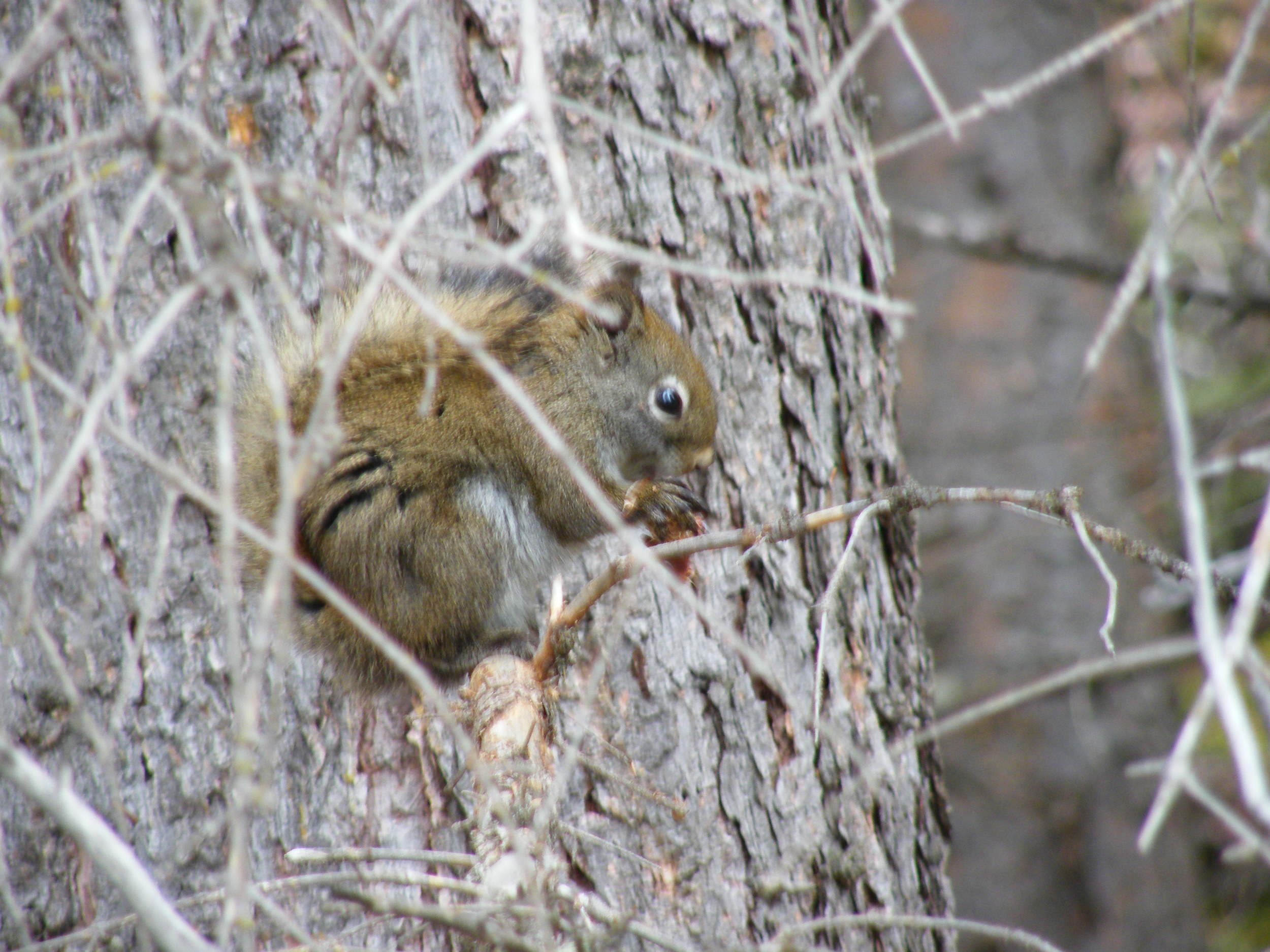 150Red Squirrel Gros Ventre.JPG