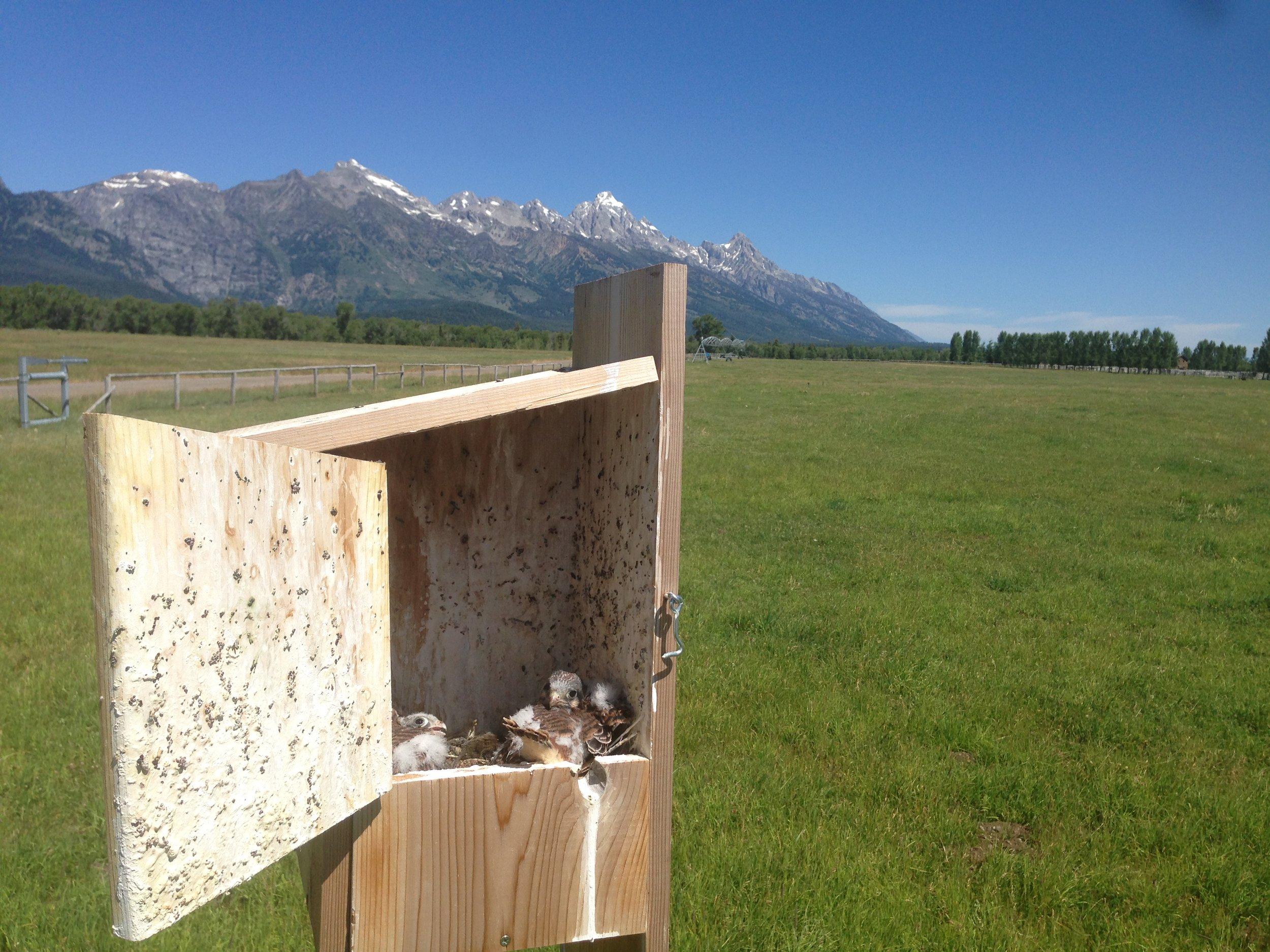 American kestrel fledglings in assembled bird box.