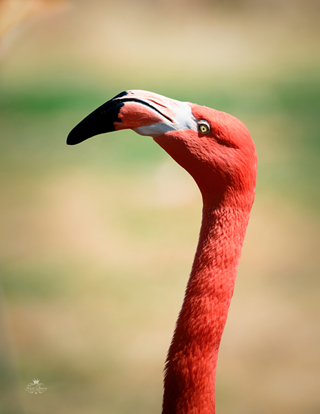 Flamingos-3299.jpg