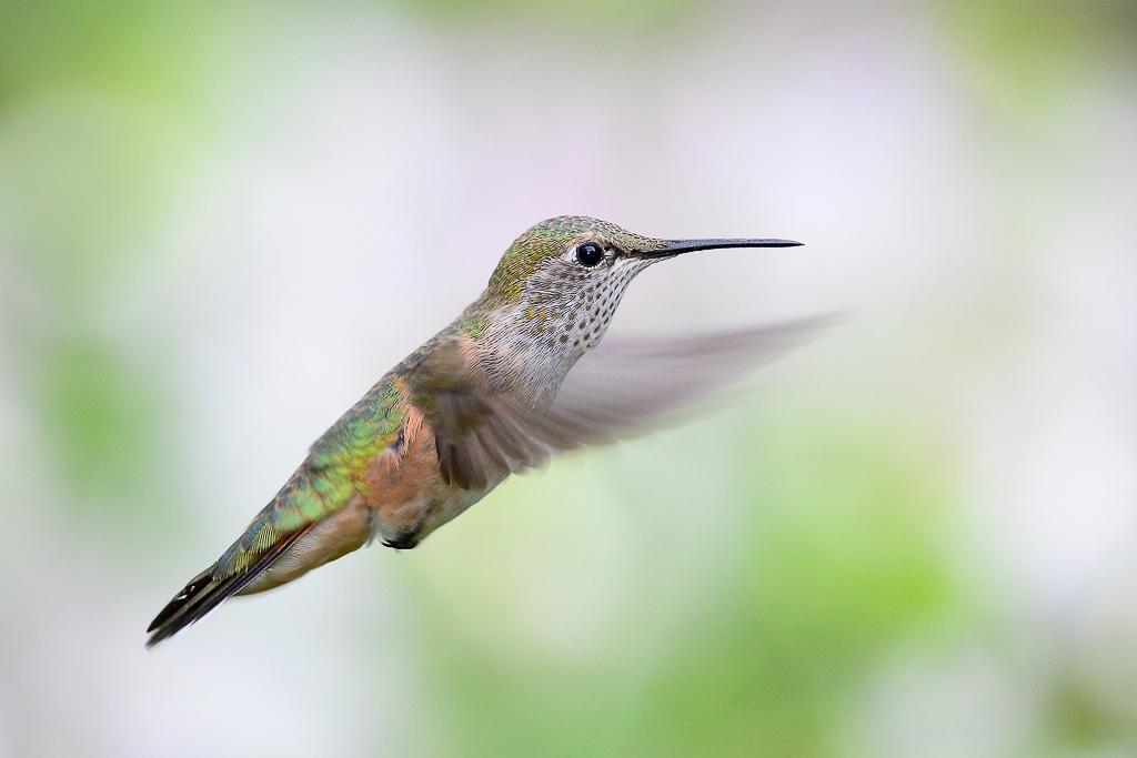 Hummingbird-in-Flight-2.jpg