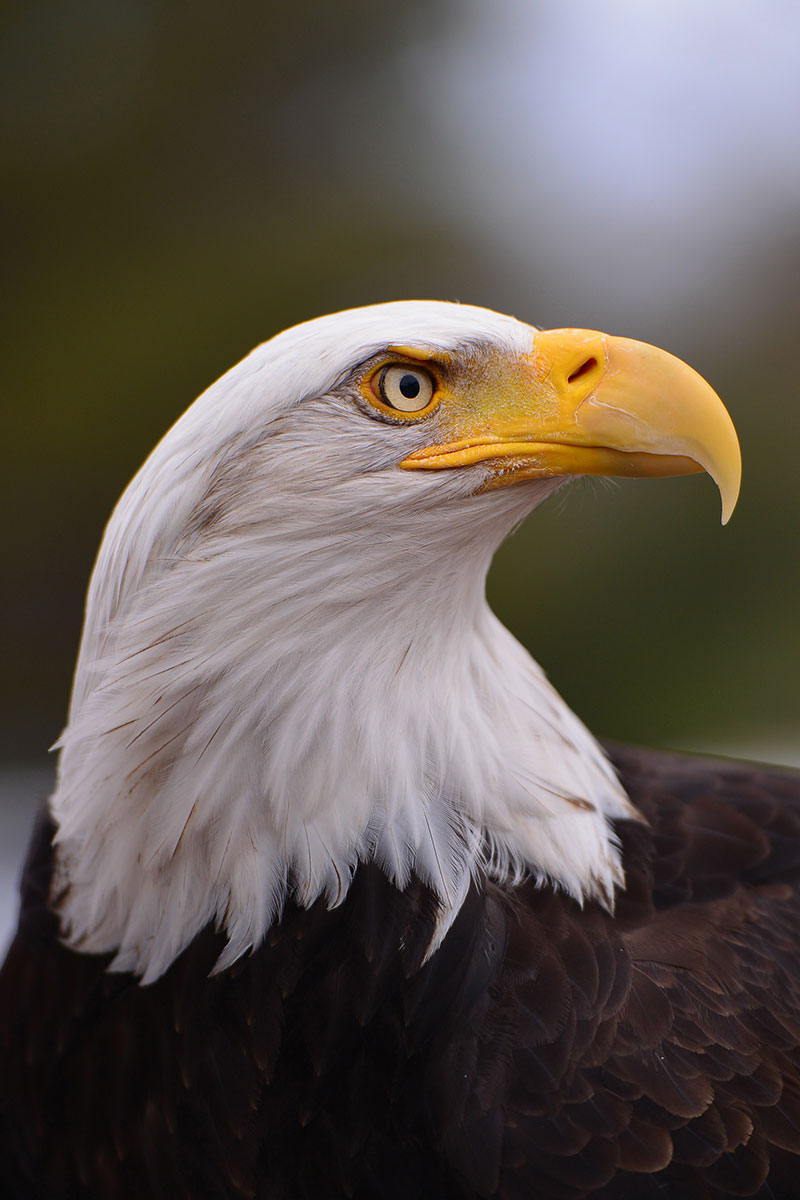 golden-eagle-6560.jpg