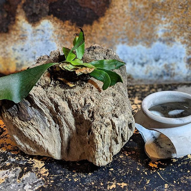So this isn't a plant in my pot but a plant next to my pot. I wanted to show off the driftwood I found and made into a planter, so I did. #renaissanceman  Staghorn Fern Platycerium . . .  #driftwood #nature #staghorn #Pitfire #Planters #Plantlife #Greenthumb #Life #MakersGottaMake  #Ceramics #Contemporary #WheelThrown #Altered #Clay #Pottery #StudioaArt #HandMade #Pottery #Art #ShopSmall #Stoneware #Interior #Interiordesign #PhotoOfTheDay #InteriorDesign  #YesPlease #NotMyPresident #PapePottery