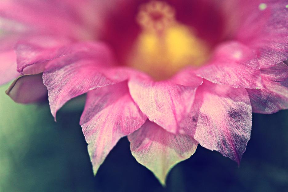 pink cactus flower 1 sharpen s.jpg