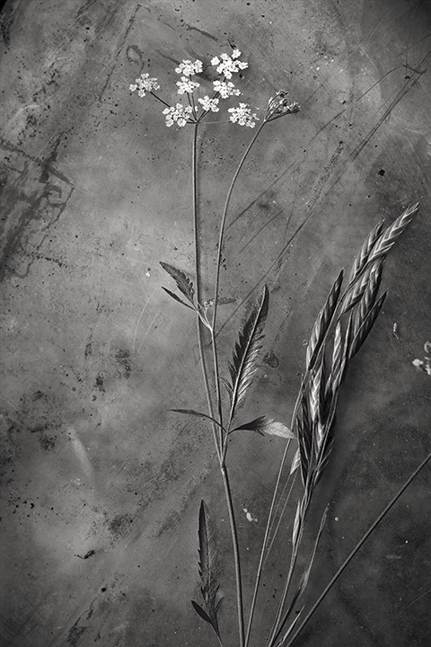 grass seed hedge parsley 4 2 mono ss.jpg