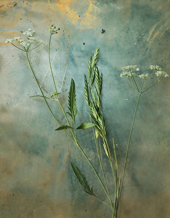 grass seed hedge parsley 3 crop 2 s.jpg