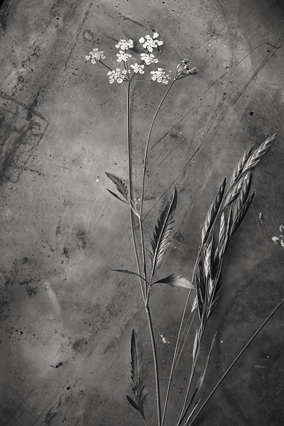 grass seed hedge parsley 4 2 mono s.jpg