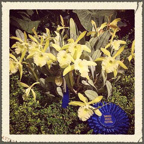 Rhyncholaelia Aristocrat     Tamiami International Orchid Festival     Grand Champion 2015
