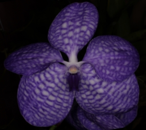 The third   in a historic set of articles Dr. Motes wrote in the late 1980s and early 1990s about the history of vanda hybridizing. This article focuses on Vanda  coerulea . First published in the American Orchid Society Bulletin. Some of this material was later adapted into Vandas: Their Botany, History and Culture.