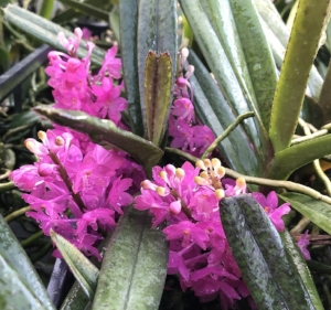 An article on Vanda (formerly ascocentrum) ampullacea by Dr. Motes.