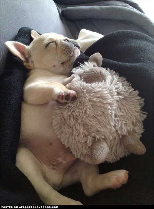 cozy-little-frenchie