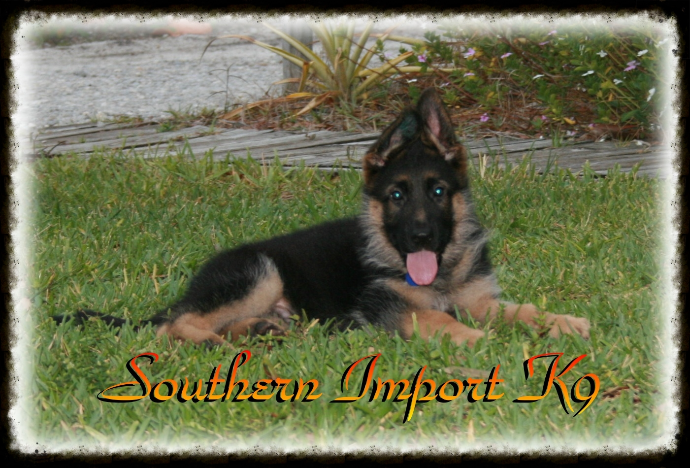 SOUTHERN IMPORT K9Where breeding isn't a hobby, it's a passion!