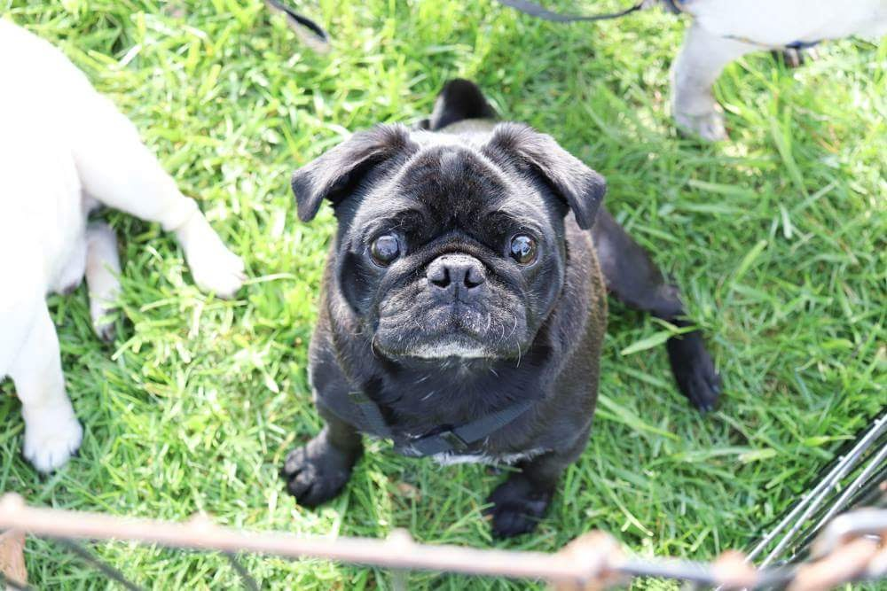 What To Know Before You Adopt — Bluegrass Pug Rescue