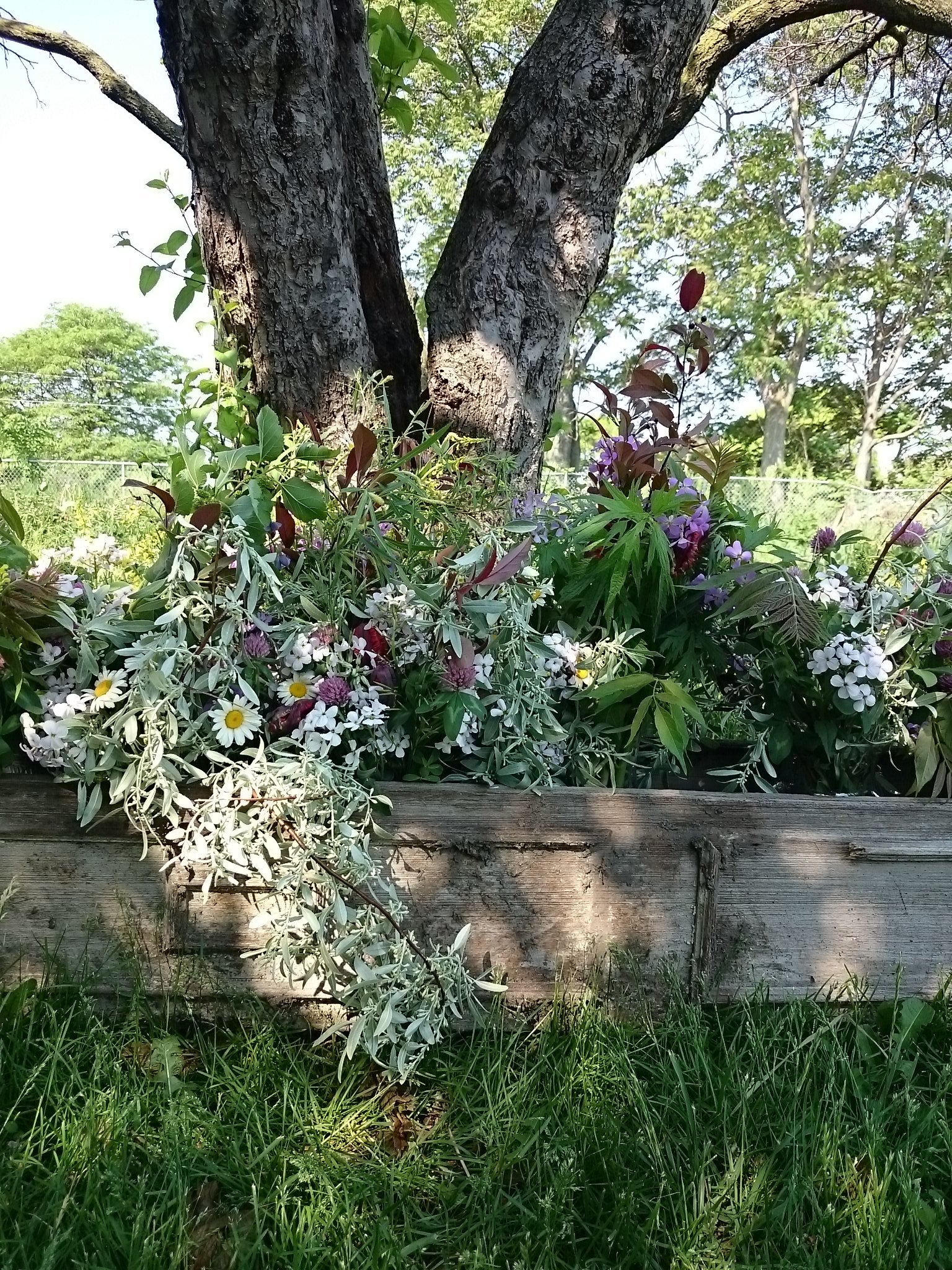 Weekly Bouquet Pick-up in early Summer 2015 with wild brassicas, clovers, daisies, mugwort, mulberries, and more.