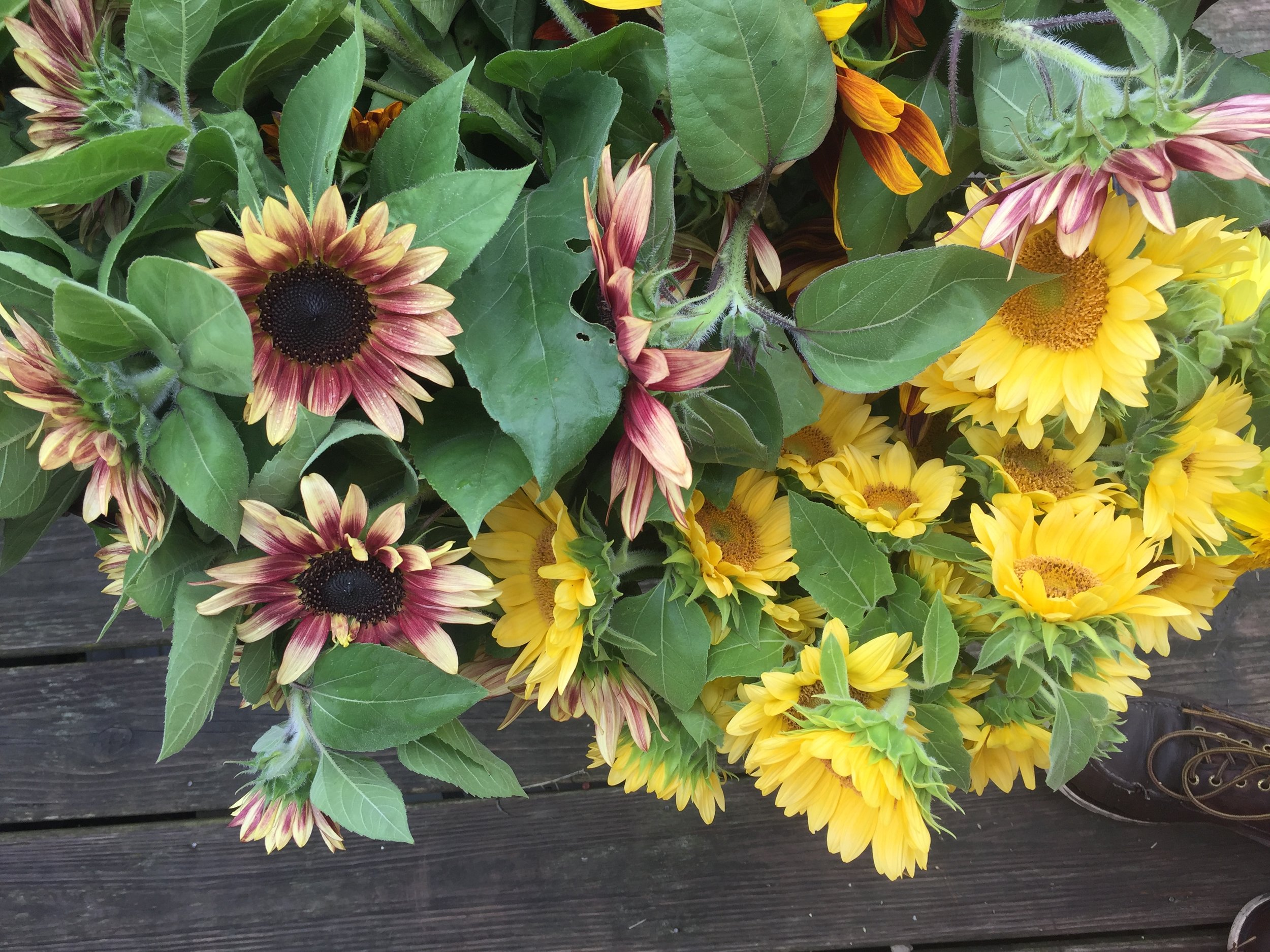 Ruby Eclipse & Peach Passion.... special sunflowers.