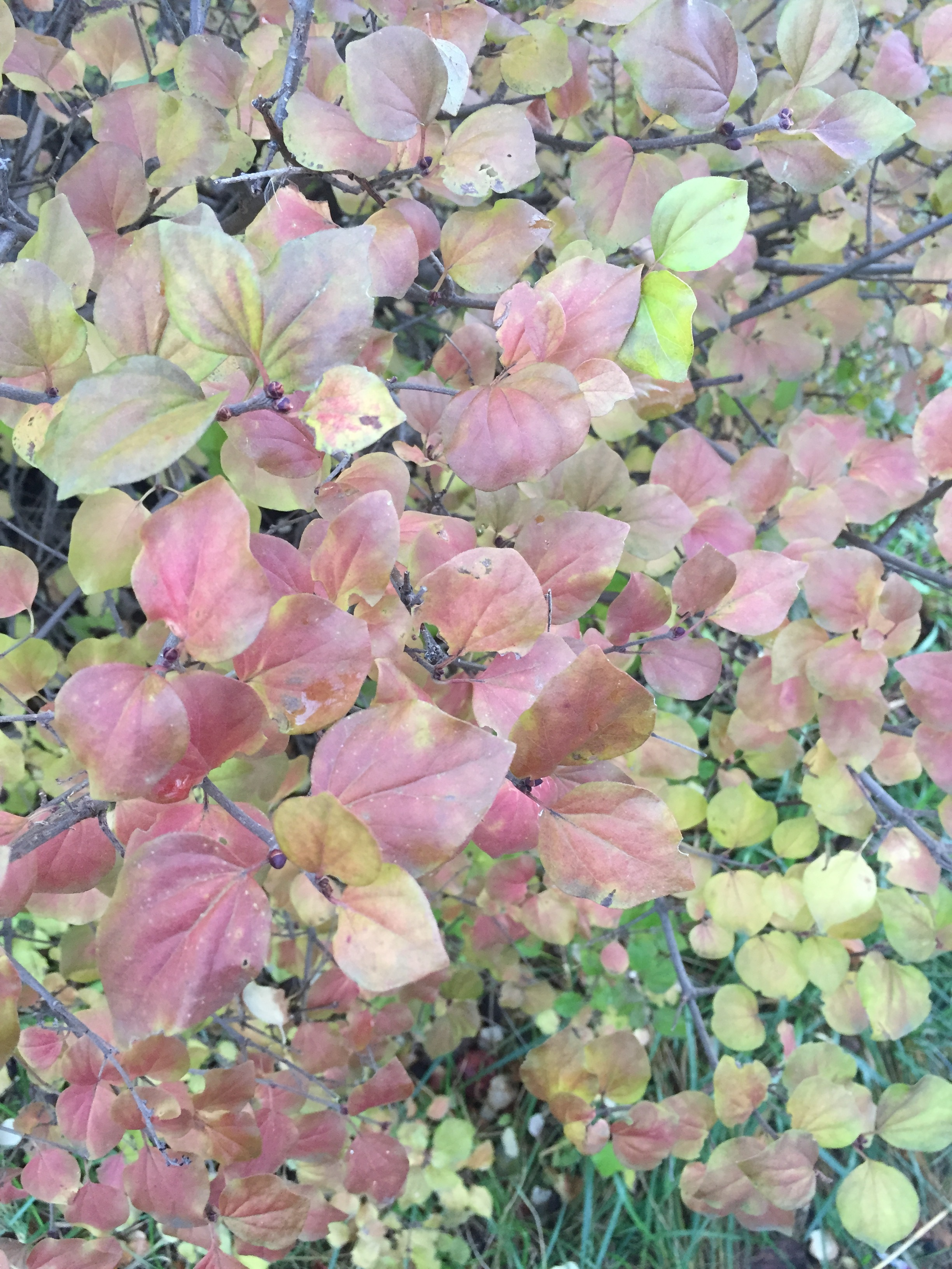 Fall colors on our japanese lilac bush.