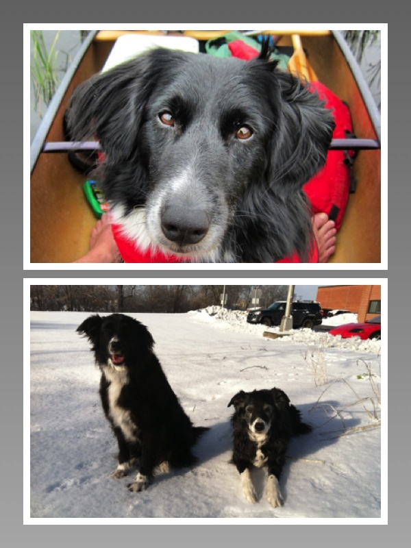 Top, Dash, and bottom, Zuzu and Nina, all rescued Border Collies.
