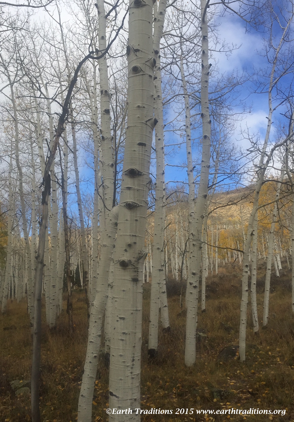 The Pando - Fishlake National Forest, Utah