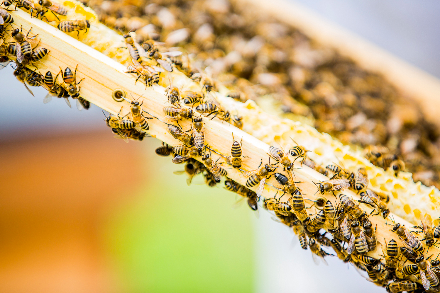 3-FEATURED-BEES.jpg