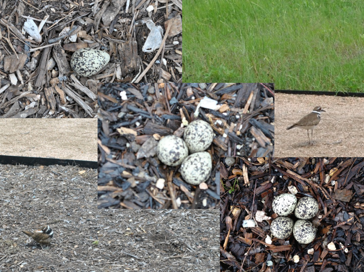 Last week a killdeer pair built a nest in our front flower bed.  We watched the nest grow from one egg to four over a period of four days.  We prayed for the little birds when the water began to rise.  Our friend even built a little dike to protect the nest.  I find it beautifully mysterious how everyone in this house is rooting for those eggs to live, knowing that their lives will be short at best,  likely ending in the teeth of some predator.  Even so, life is good and worth living.