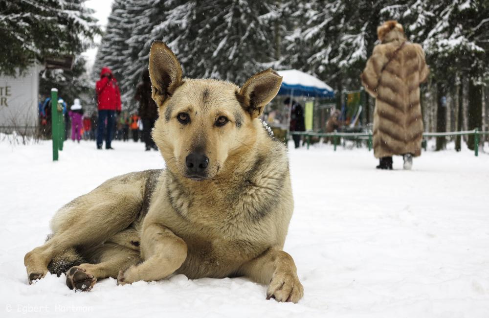 zwerfhond, sneeuw Rusland winter Pavlovsk