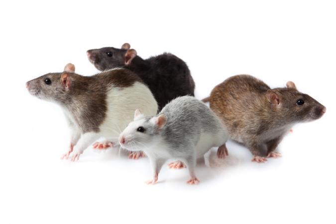 plagas-de-roedores-675x450.jpg