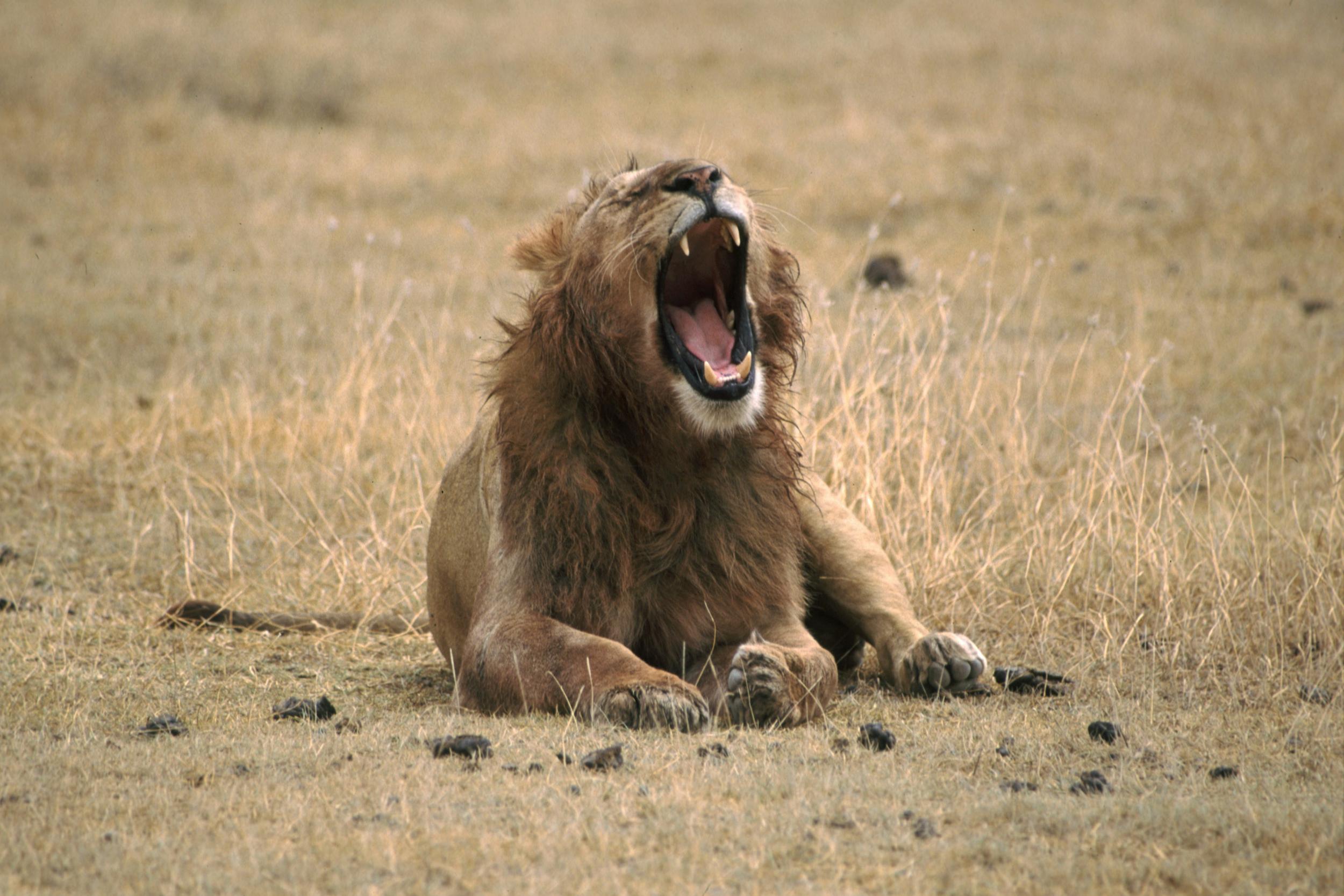 Lion_Yawning copy.jpg