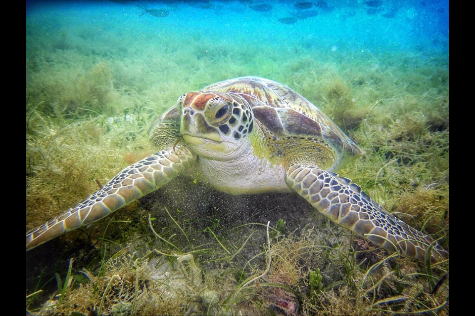 A Hawksbill Turtle, also found around St John regularly, but we swam with Green Sea Turtles. Photo by Ariel Kaufman, a previous guest of ours and excellent photographer.