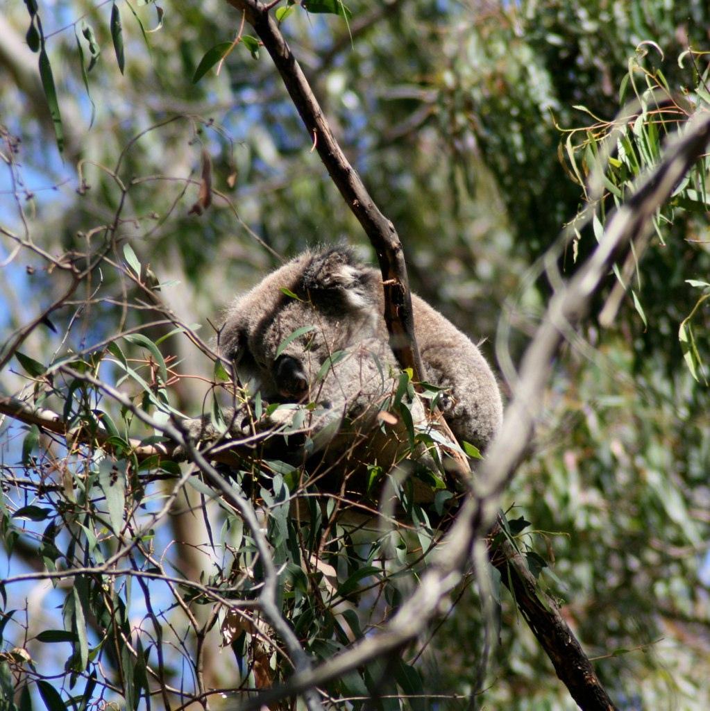 Koalas in the Otway National Park
