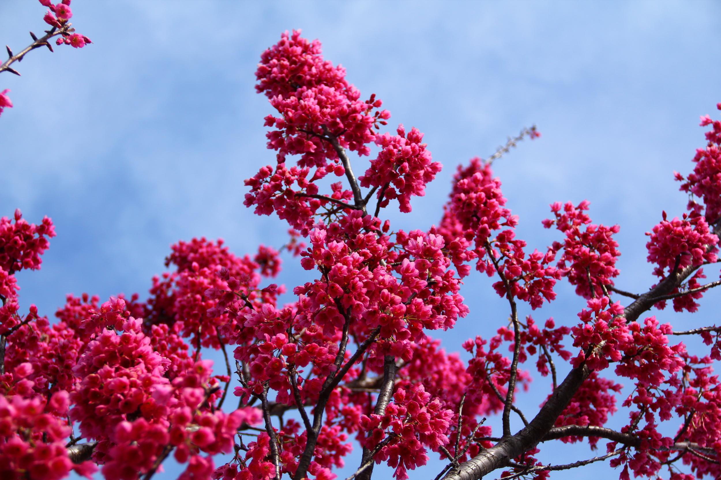 4-9-14 Blossom 3.JPG