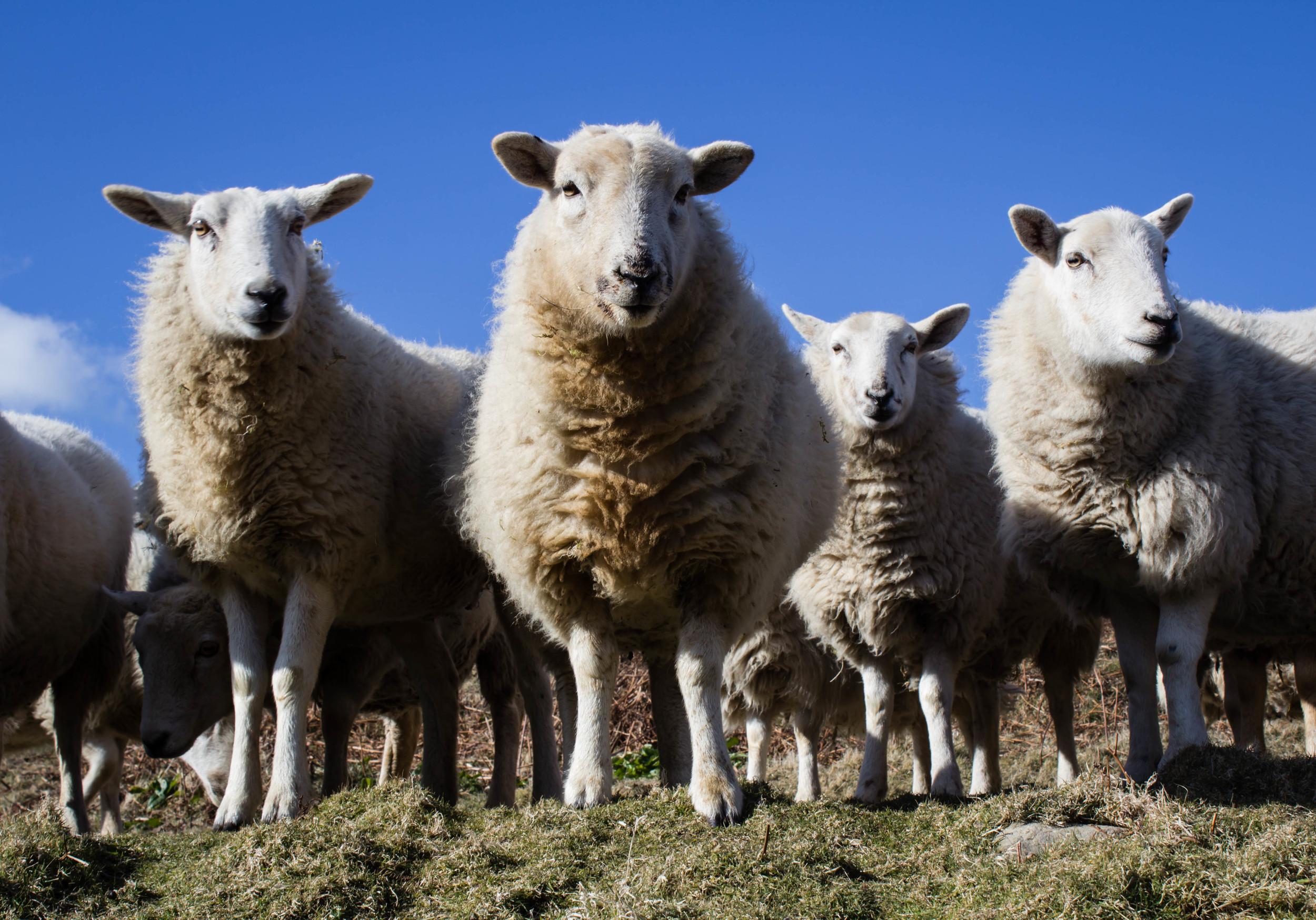 sheep!.jpg