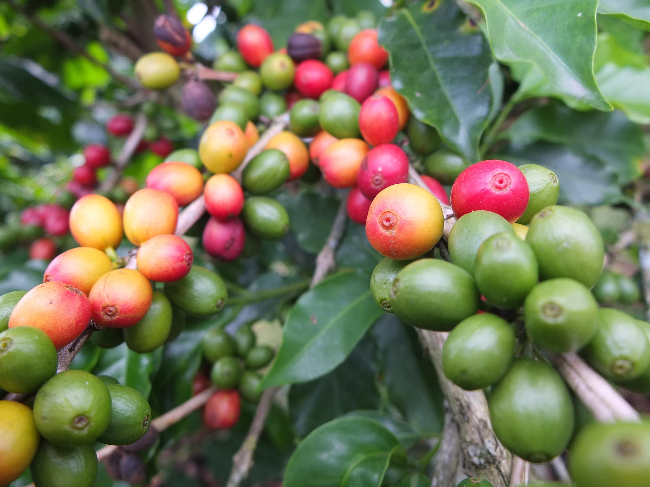 coffee cherries1.JPG