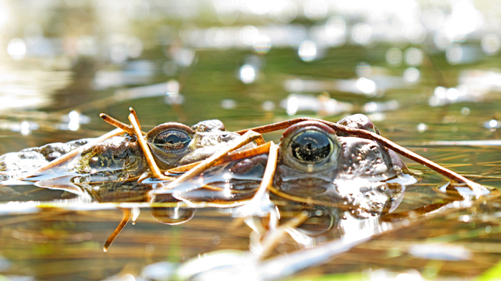 Western toads ( Bufo boreas ) in amplexus.   © Ron Skylstad